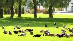 Patos que caminan en hierba verde en parque almacen de metraje de vídeo