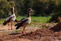 Patos que caminan en la arena imagen de archivo
