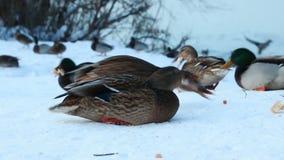 Patos que caminan en la nieve almacen de metraje de vídeo