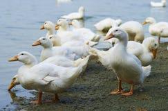 Patos que consomem a água fotografia de stock