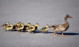 Patos que cruzan el camino Imagen de archivo libre de regalías