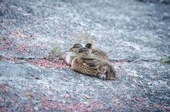 Patos que descansan después de nadada Foto de archivo