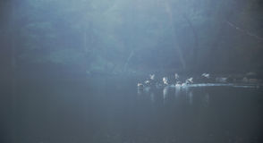 Patos que descolam da lagoa enevoada Imagem de Stock