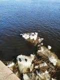 Patos que flotan en el río en la primavera imagen de archivo libre de regalías