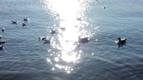 Patos que flutuam em torno da reflexão de sun no movimento lento vídeos de arquivo