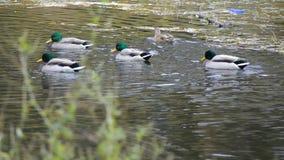 Patos que flutuam em uma lagoa video estoque