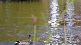 Patos que flutuam na lagoa filme