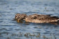 Patos que forrajean para la comida en las orillas de un río foto de archivo libre de regalías