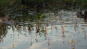 Patos que jogam um com o otro em uma lagoa enchida com as algas video estoque