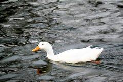 Patos que nadam Foto de Stock