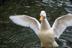 Patos que nadam Imagens de Stock