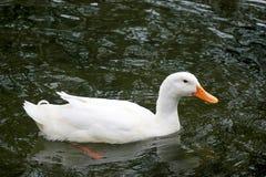 Patos que nadam Fotografia de Stock Royalty Free