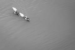 Patos que nadam Imagem de Stock