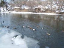 Patos que nadam fotografia de stock