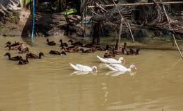 Patos que nadam Imagem de Stock Royalty Free