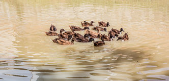 Patos que nadam Foto de Stock Royalty Free