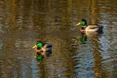 Patos que nadam em um lago do inverno Fotografia de Stock