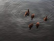 Patos que nadam em um lago do norte Fotos de Stock Royalty Free