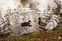 """Patos, que nadam em um lago perto de uma floresta - Bassin de la Muette - †""""França de Elancourt Foto de Stock Royalty Free"""