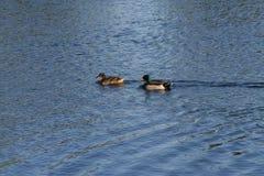 Patos que nadam na água Fotografia de Stock Royalty Free