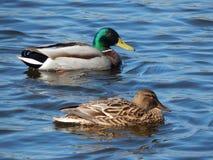 Patos que nadam na água Imagens de Stock Royalty Free