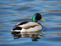 Patos que nadam na água Imagem de Stock