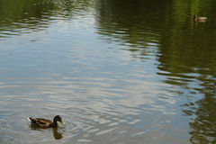 Patos que nadam na água do lago do parque Fotos de Stock