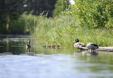 Patos que nadam na lagoa Fotos de Stock