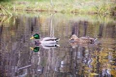 Patos que nadam na superfície da água Imagens de Stock