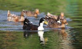 Patos que nadam no lago Imagem de Stock