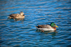 Patos que nadam no lago Imagens de Stock Royalty Free