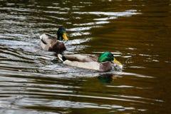 Patos que nadam no lago Fotos de Stock