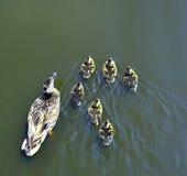 Patos que nadam no lago com uma família que vive felizmente junto dentro Imagem de Stock Royalty Free