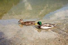 Patos que nadam no lago Offensee em Áustria Fotografia de Stock Royalty Free