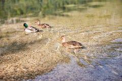 Patos que nadam no lago Offensee em Áustria Imagens de Stock Royalty Free