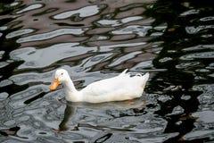 Patos que nadan Fotografía de archivo libre de regalías