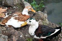 Patos que nadan Foto de archivo