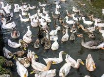 Patos que nadan Imágenes de archivo libres de regalías