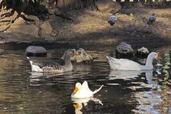 Patos que nadan Imagen de archivo