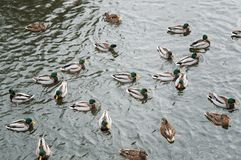 Patos que nadan en el agua foto de archivo