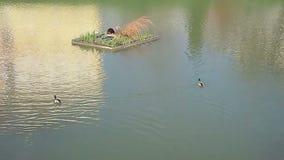 Patos que nadan en el lago