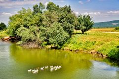 Patos que nadan en el lago Imagen de archivo libre de regalías