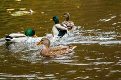 Patos que nadan en el lago Foto de archivo libre de regalías