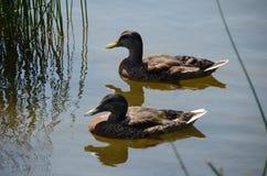 Patos que nadan en el lago Fotografía de archivo