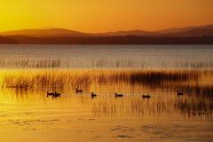 Patos que nadan en el lago Champlain sunrise Imagenes de archivo