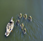Patos que nadan en el lago con una familia que vive feliz junto adentro Imagen de archivo libre de regalías