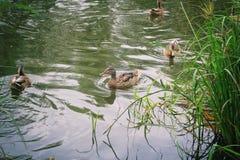 Patos que nadan en el lago del invierno Patos masculinos y femeninos en el agua de congelación Día soleado al lado de un lago con foto de archivo libre de regalías