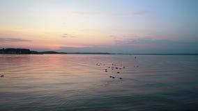 Patos que nadan en el lago en la puesta del sol metrajes