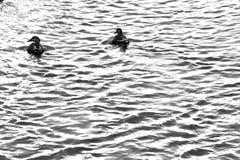Patos que nadan en el río Fotografía de archivo