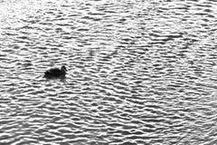 Patos que nadan en el río Imagenes de archivo